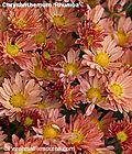 ChrysanthemumRhumbaWGDETA-1
