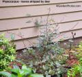 PhysocarpusStripped500