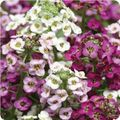 Alyssum Clear Crystals Formula Mixed Image: PanAmerican Seeds