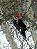 Pileated woodpecker. Image: Graham Rice/GardenPhotos.com