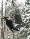 Pileated Woodpecker on Suet Feeder. Image=