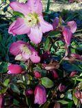 Helleborus 'Walberton's Rosemary'. Image: ©Tracey Mathieson