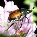 600px-Popillia_japonica.jpg