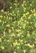 Cowslips, Primula veris, by the roadside. Image ©GardenPhotos.com