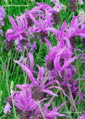Lavender 'Flaming Purple'. Image: ©GardenPhotos.com