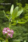 Kalmiaangustifolia14022-600. Kalmia angustifolia (sheep laurel). Image: ©GardenPhotos.com