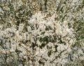 Prunusspinosa12572
