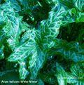 Arum italicum 'White Winter'. Image ©GardenPhotos.com
