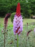 Primula vialii. Image: © KENPEUI used here under the GNU Free Documentation License