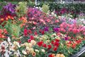Dahlia display from Winchester Growers. Image ©GardenPhotos.com