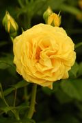 Absolutely Fabulous ('Wekvossutono') - 2010 Rose of the Year launched at the 2009 Hampton Court Palace Flower Show. Image: ©RHS