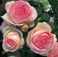Rose Eden ('Meiviolin'). Image: ©World Federation of Roses Roses