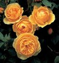 Rose Graham Thomas ('Ausmas') - the World's Favorite Rose. Image: ©David Austin Roses
