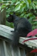 BlackSquirrel15988