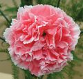 Malmaison carnation 'Marmion'. Image: ©Allwoods