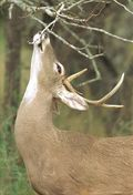 White-tailed deer feeding on tree branches
