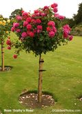 Standard 'Sophy's Rose' at Rockingham Castle