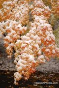 October snow on a Japanese maple in full fall color. Image:©GardenPhotos.com