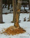 Pileated woodpecker,birch,betula,damage, Image: ©GardenPhotos.com. Do not reproduce without permission.