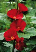 Alcea 'Mars Magic',hollyhock,Spotlight Series,Jelitto, Image: ©Jelitto Seeds.
