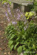 Hosta lancifolia,dry shade,Diana Grenfell,Ian Scroggy. Image: ©GardenPhotos.com.