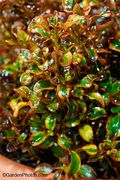 Coprosma,Tequila Sunrise,National,Plant Show. Image: ©GardenPhotos.com (all rights reserved)