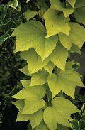 ParthenocissusFenwayPark14978