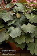 Heuchera,Brownies,BallColegrave,Open Day. Image ©GardenPhotos.com (all rights reserved)