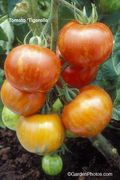 Tomato,Tigerella,Mr Stripey,heirloom. Image ©GardenPhotos.com (all rights reserved)