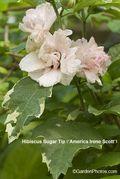 Hibiscus,Sugar Tip,America Irene Scott. Image ©GardenPhotos.com (all rights reserved)