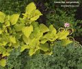 Coleus,kale,annuals,geranium,all-in-one garden. Image ©GardenPhotos.com (all rights reserved)