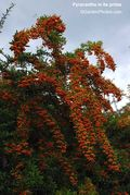 Pyracantha,berries,fruits. Image ©GardenPhotos.com (all rights reserved)