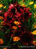 Rudbeckia,Cherry Brandy,red, Image ©GardenPhotos.com (all rights reserved)
