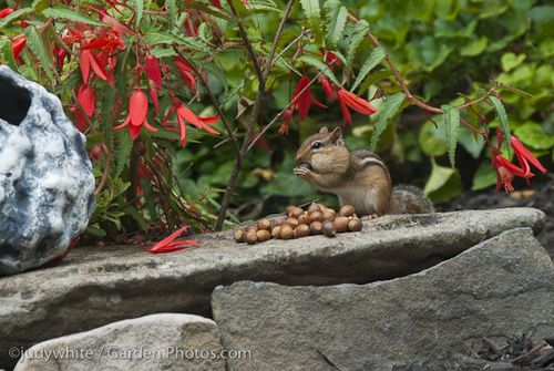Chipmunk-Acorns-J015020
