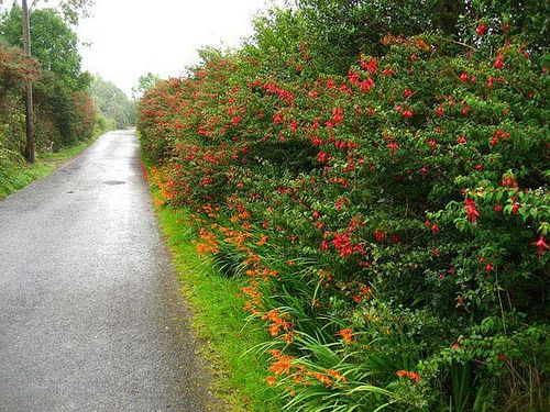 Crocosmia,Fuchsia,invasive,Ireland. Image ©Sunny Wieler/Stone Art's Blog (all rights reserved)