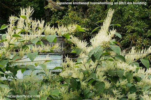 Japanese,knotweed,Fallopia,invasive. Image ©GardenPhotos.com (all rights reserved)