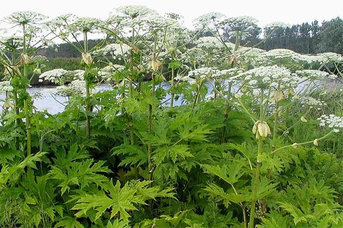 Heracleum,giant hogweed,invasive. Image ©GerardM/GNU Free Documentation License. (all rights reserved)