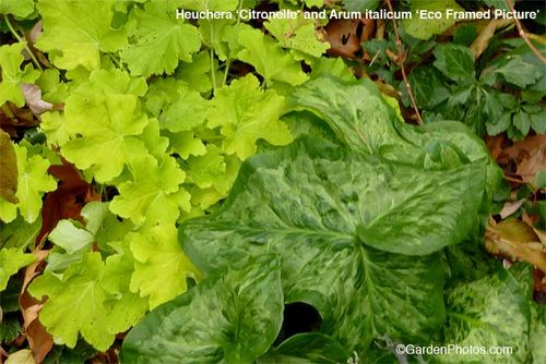 Heuchera,Citronelle,Arum,italicum,Eco Framed Picture. Image ©GardenPhotos.com (all rights reserved)