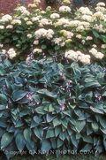Hosta fortunei,hyacinthina,dry shade,Diana Grenfell,Ian Scroggy. Image: ©GardenPhotos.com.