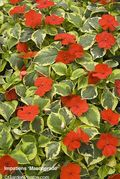 Impatiens,Masquerade,BallColegrave,Open Day. Image ©GardenPhotos.com (all rights reserved)