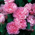 Rose,Rosa,Mary Rose,'Ausmary',English rose. Image ©David Austin Roses