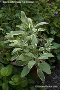 Salvia,sage,variegated,La Crema,Berggbright. Image: ©GardenPhotos.com. All rights reserved.