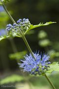Caryopteris,Sunshine Blue, Image ©GardenPhotos.com (all rights reserved)