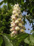 Aesculus,hippocastanum,flowers,horse chestnut. Image licensed under the Creative Commons Attribution-Share Alike 3.0 Unported license. © Andrew Butko
