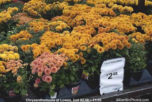 Chrysanthemum,Lowes,cheap. Image ©GardenPhotos.com (all rights reserved)