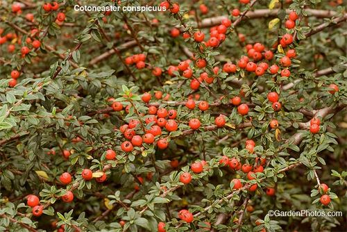 Cotoneaster,conspicuous. Image ©GardenPhotos.com (all rights reserved)