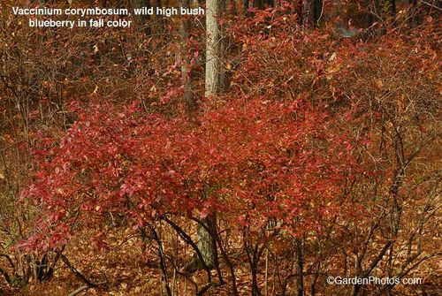 Vaccinium,blueberry,highbush,fall color, autumn colour. Image ©GardenPhotos.com (all rights reserved)