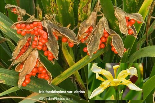 Iris,foetidissima,citrina,flowers,berries. Image ©GardenPhotos.com (all rights reserved)