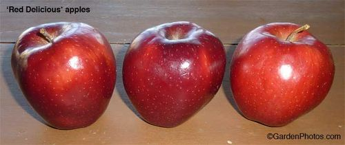 red,delicious,shellac,apple,cheap. Image ©GardenPhotos.com (all rights reserved)