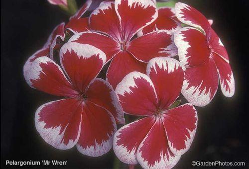 Pelargonium,zonal,geranium,Wren. Image ©GardenPhotos.com (all rights reserved)